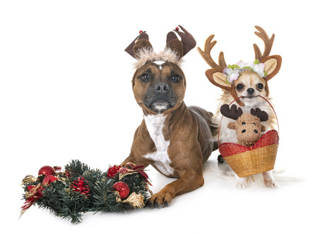 staffordshire bull terrier and chihuahua in front of white background