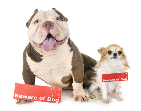 american bully, chihuahua and board in front of white background Stock Photo