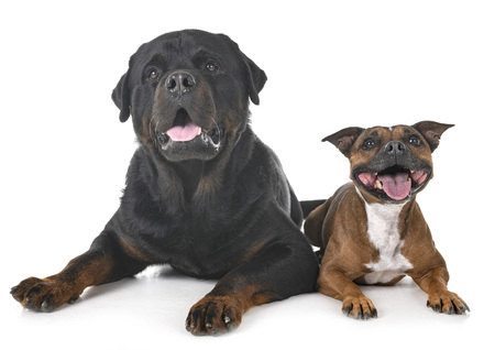 staffordshire bull terrier and rottweiler in front of white background