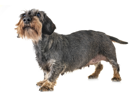 old dachshund in front of white background