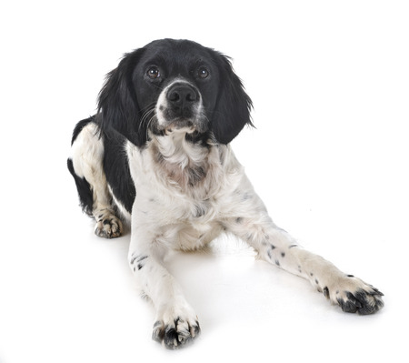brittany dog in front of white background Stok Fotoğraf
