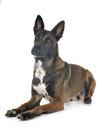 belgian shepherd malinois in front of white background Banco de Imagens
