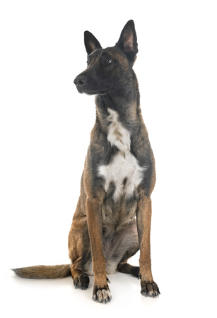 belgian shepherd malinois in front of white background Stock Photo - 115134357