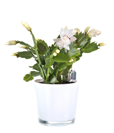 white Schlumbergera in front of white background