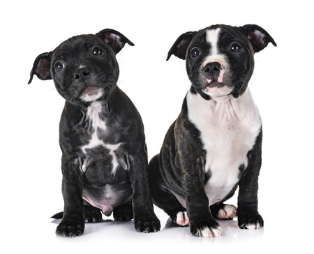 puppies staffordshire bull terrier in front of white background