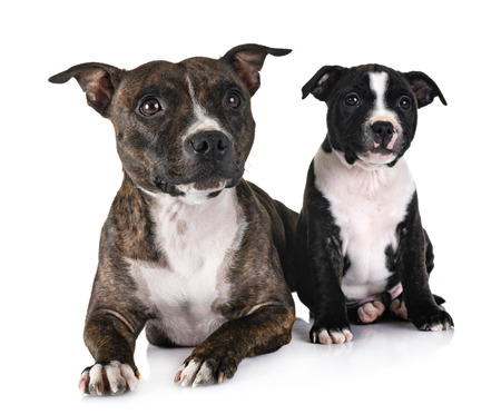 staffordshire bull terriers in front of white background Stock Photo