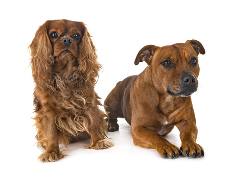 staffordshire bull terrier and cavalier king charles in front of white background