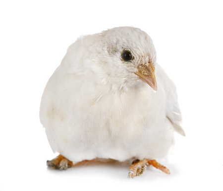 King quail in front of white background Standard-Bild - 115134851