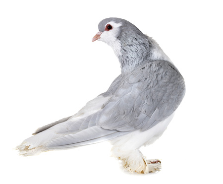 Lahore pigeon in front of white background