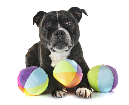 staffordshire bull terrier in front of white background