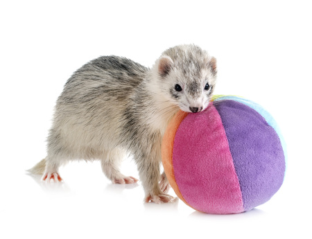 gray ferret in front of white background