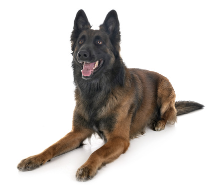 belgian shepherd tervuren in front of white background Stock Photo - 115134952