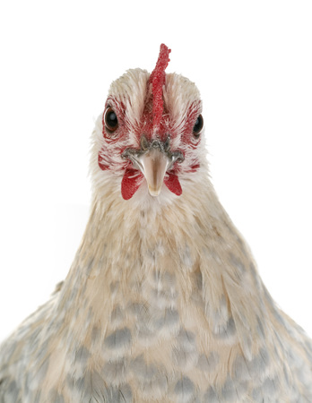 Dutch Booted Bantam in front of white background Stock Photo