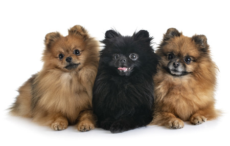 spitz pomeranians in front of white background