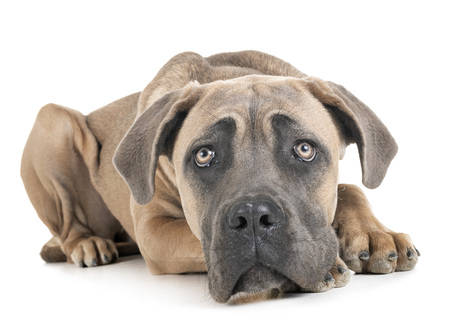 young cane corso in front of white background