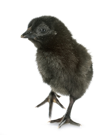 ayam cemani chick in front of white background 写真素材 - 117936940