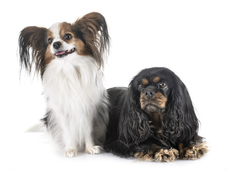 cavalier king charles and papillon in front of white background Banque d'images