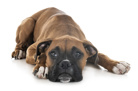 puppy boxer in front of white background 免版税图像