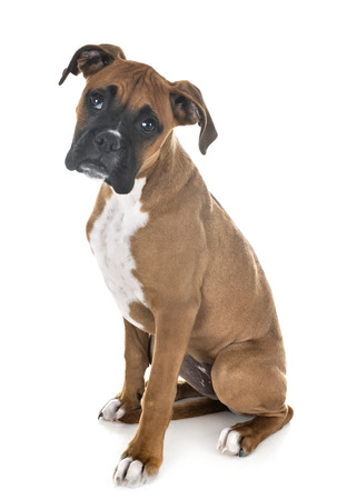 puppy boxer in front of white background Stockfoto