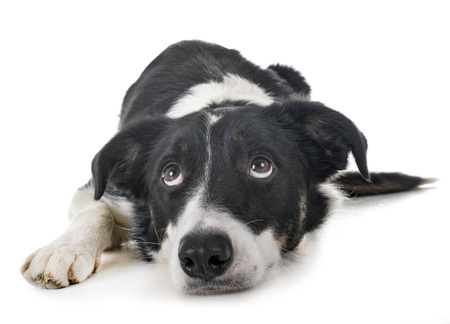 border collie in front of white background Stock Photo - 117937770