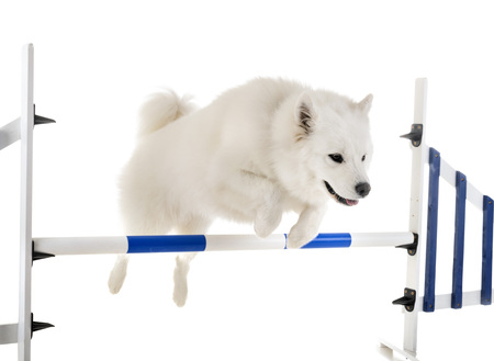 Samoyed dog in front of white background Banque d'images