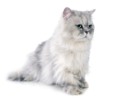 persian cat in front of white background Stock Photo