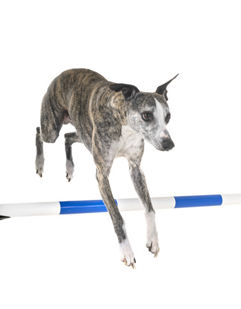 english whippet in front of white background