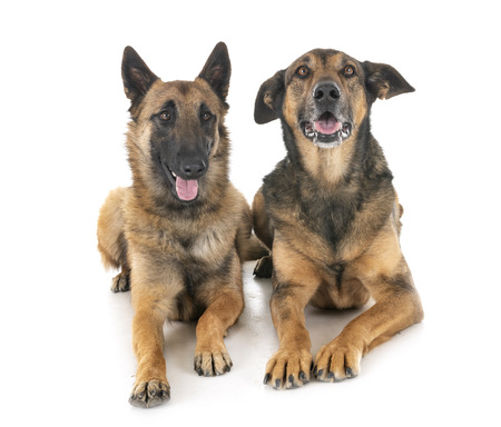 belgian shepherd in front of white background Stock Photo - 117938467