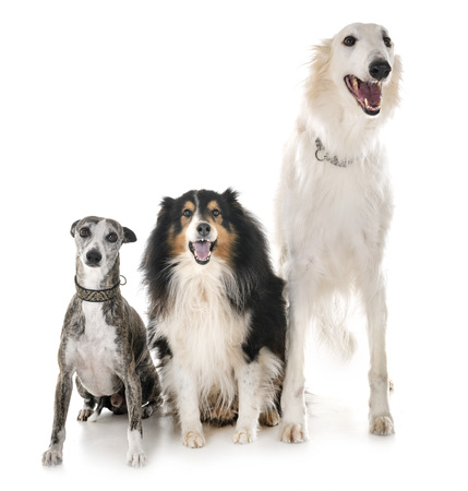 three dogs in front of white background Stock Photo