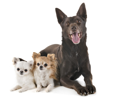 Australian Kelpie and chihuahuas in front of white background