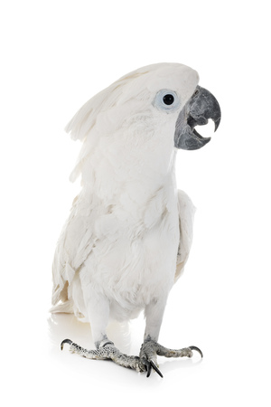 White cockatoo in front of white background Stockfoto