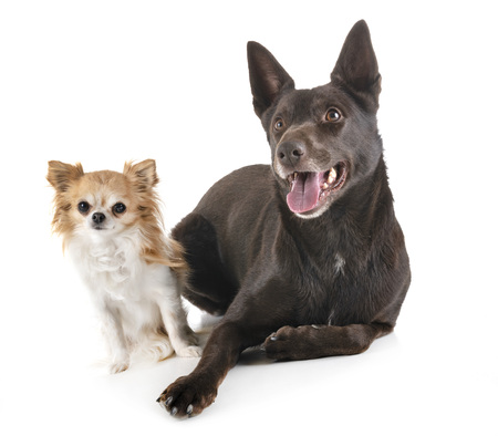 Australian Kelpie and chihuahua in front of white background