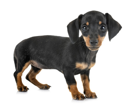 puppy black and tan miniature dachshund in front of white background
