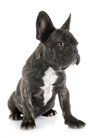 puppy french bulldog in front of white background Archivio Fotografico