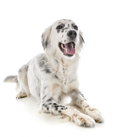 english setter in front of white background