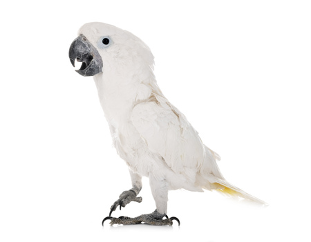 White cockatoo in front of white background Stock Photo