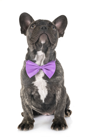puppy french bulldog in front of white background
