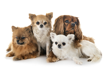 littles dogs in front of white background Stock Photo
