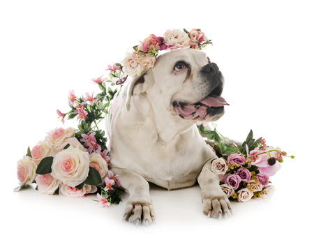 white boxer in front of white background