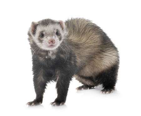 brown, ferret in front of white background