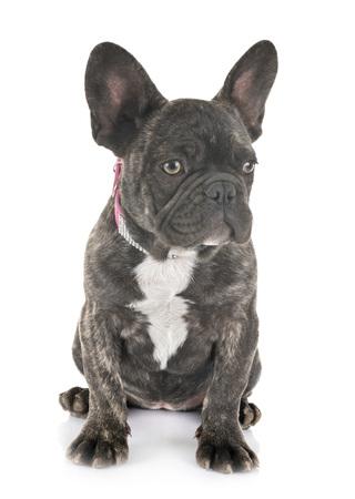 Cachorro bulldog francés delante de un fondo blanco Foto de archivo