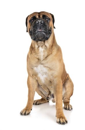 purebred bullmastif in front of white background