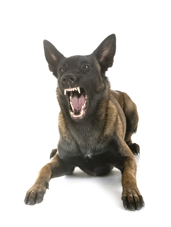 gray german shepherd in front of white background