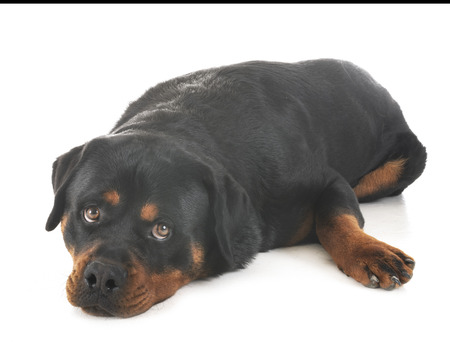 purebred rottweiler in front of white background Stock Photo