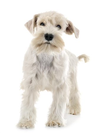 puppy white miniature schnauzer in front of white background Stock Photo
