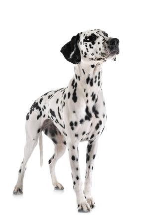 Perro dálmata delante de un fondo blanco Foto de archivo