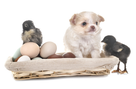 little chihuahua and chicks in front of white background