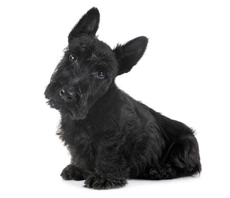 Welpe Scottish Terrier vor weißem Hintergrund