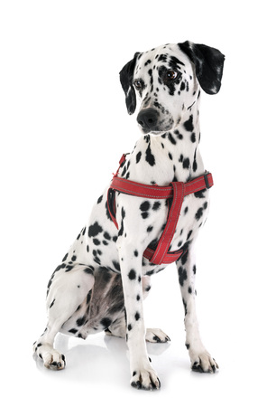 dalmatian dog in front of white background Stockfoto