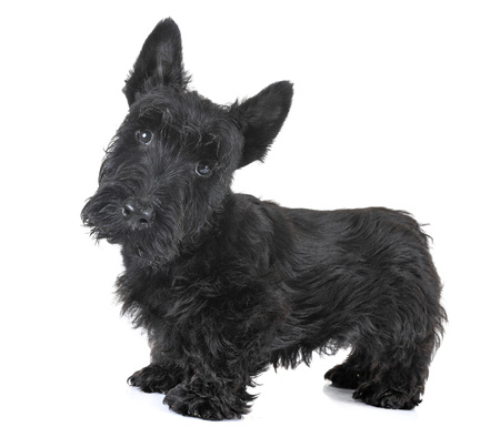 puppy scottish terrier in front of white background Imagens